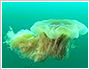 Jellyfish drifting in the sea -Life as plankton-