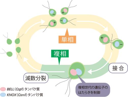 RESEARCH:植物の世代を切換えるスイッチ遺伝子 榊原恵子   季刊「生命 ...