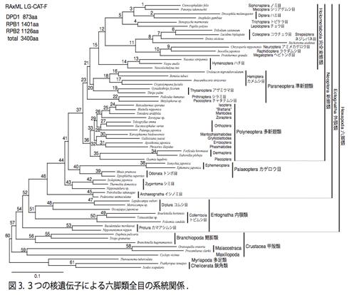 図3.3つの核遺伝子による六脚類全目の系統関係