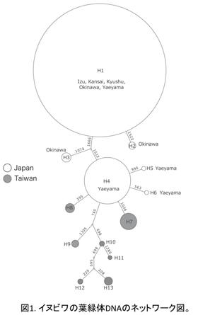 図1. イヌビワの葉緑体DNAのネットワーク図
