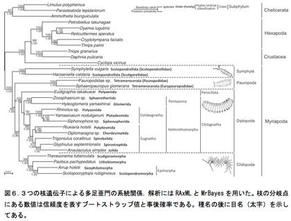 図6.3つの核遺伝子による多足亜門の系統関係.解析にはRAxMLとMrBayesを用いた。枝の分岐点にある数値は信頼度を表すブートストラップ値と事後確率である。種名の後に目名(太字)を示してある。
