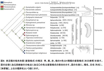図8.多足類の祖先形質(変態様式)の推定.青、黄、赤、緑の4色は4種類の変態様式(本文参照)を表す。図の左側にある系統樹の分岐点にある○の色は変態様式の割合を示す。図の右側に、種名、目名(科名)、[体節数]、上位分類群名という順に示す。