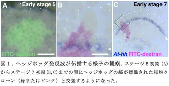 図1.ヘッジホッグ発現波が伝播する様子の観察.ステージ5初期