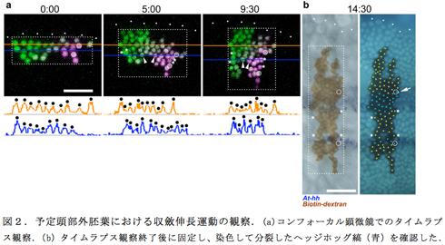 図2.予定頭部外胚葉における収斂伸長運動の観察