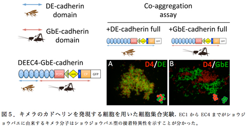 図4.キメラのカドヘリンを発現する細胞を用いた細胞集合実験