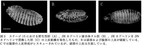 図3 ステージ15における野生型胚(A)、DEカドヘリン接合体ヌル胚(B)、DEカドヘリンをDNカドヘリンで置換した胚(C)の上皮組織を染色したもの.Bは頭部および腹部の上皮が破綻している.Cでは腹部の上皮形成がレスキューされているが、頭部の上皮は欠損している.