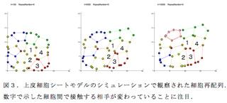 図3.上皮細胞シートモデルのシミュレーションで観察された細胞再配列.数字で示した細胞間で接触する相手が変わっていることに注目.