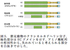 図5. 節足動物のクラシカルカドヘリン分子.緑色部分はECドメインを示す.アミノ酸配列の相同性から、失われていると考えられる部分を白抜きで示した.