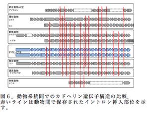 図6.動物系統間でのカドヘリン遺伝子構造の比較.赤いラインは動物間で保存されたイントロン挿入部位を示す。
