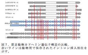 図7.節足動物カドヘリン遺伝子構造の比較.赤いラインは動物間で保存されたイントロン挿入部位を示す。