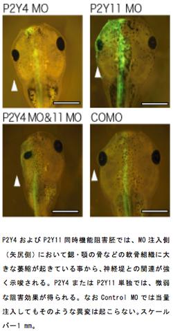 イP2Y4およびP2Y11同時機能阻害胚では、MO注入側(矢尻側)において鰓・顎の骨などの軟骨組織に大きな萎縮が起きている事から、神経堤との関連が強く示唆される。P2Y4またはP2Y11単独では、微弱な阻害効果が得られる。なおControl MOでは当量注入してもそのような異変は起こらない。スケールバー1 mm。