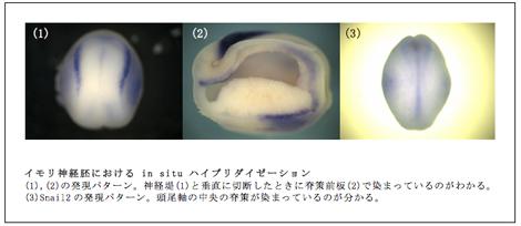 イモリ神経胚における in situ ハイブリダイゼーション (1),(2)の発現パターン。神経堤(1)と垂直に切断したときに脊策前板(2)で染まっているのがわかる。 (3)Snail2の発現パターン。頭尾軸の中央の脊策が染まっているのが分かる。