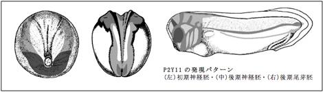 P2Y11の発現パターン (左)初期神経胚・(中)後期神経胚・(右)後期尾芽胚