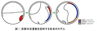 図1 原腸形成運動を説明する従来のモデル