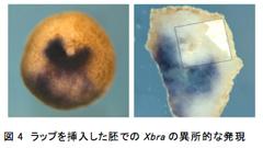図4 ラップを挿入した胚でのXbraの異所的な発現