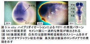 図5 in situ ハイブリダイゼーションによるP2Y1の発現パターン(図5A)中期尾芽胚 セメント腺に一過的な発現が検出される(図5B)後期尾芽胚 白矢印は頭部神経堤細胞のストリームを示す(図5C)オタマジャクシ幼生の脳 黒矢頭は後脳のロンポメアでの発現を示す