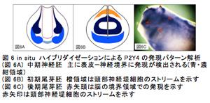 図6 in situ ハイブリダイゼーションによるP2Y4の発現パターン解析(図6A) 中期神経胚 主に表皮−神経境界に発現が検出される(青・濃紺領域)(図6B) 初期尾芽胚 橙領域は頭部神経堤細胞のストリームを示す(図6C) 後期尾芽胚 赤矢頭は脳の境界領域での発現を示す赤矢印は頭部神経堤細胞のストリームを示す