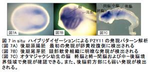 図7 in situ ハイブリダイゼーションによるP2Y11の発現パターン解析(図7A) 後期原腸胚 最初の発現が卵黄栓腹側に検出される(図7B) 後期尾芽胚 頭部軟骨組織に明瞭な発現が検出される(図7C) オタマジャクシ幼生の脳 終脳と終−間脳および中−後脳境界領域で発現が確認できる。また、後脳前方部にも弱い発現が検出される。