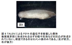 図8 TALENによるP2Y4の遺伝子を破壊した個体後期尾芽胚に形成されるはずの眼や耳胞などの凹凸が形成されていない。確認できるのはセメント腺のみである。(左が前方、右が後方)